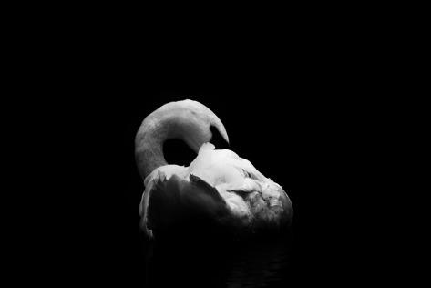 swan-265524_960_720